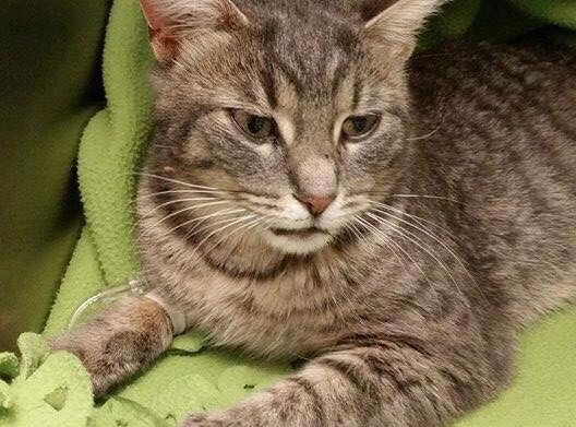 Foster family needed for cat found injured in Cannington