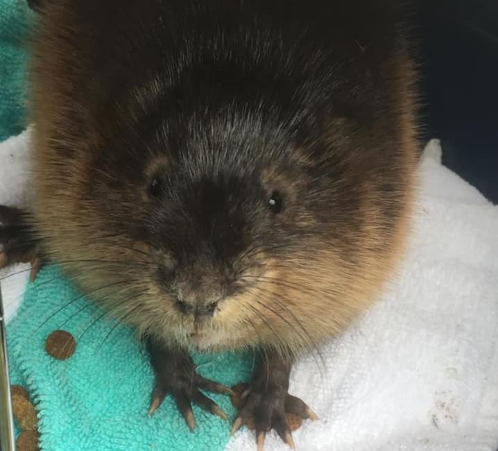 Animal shelter staff rescue muskrat in Cannington