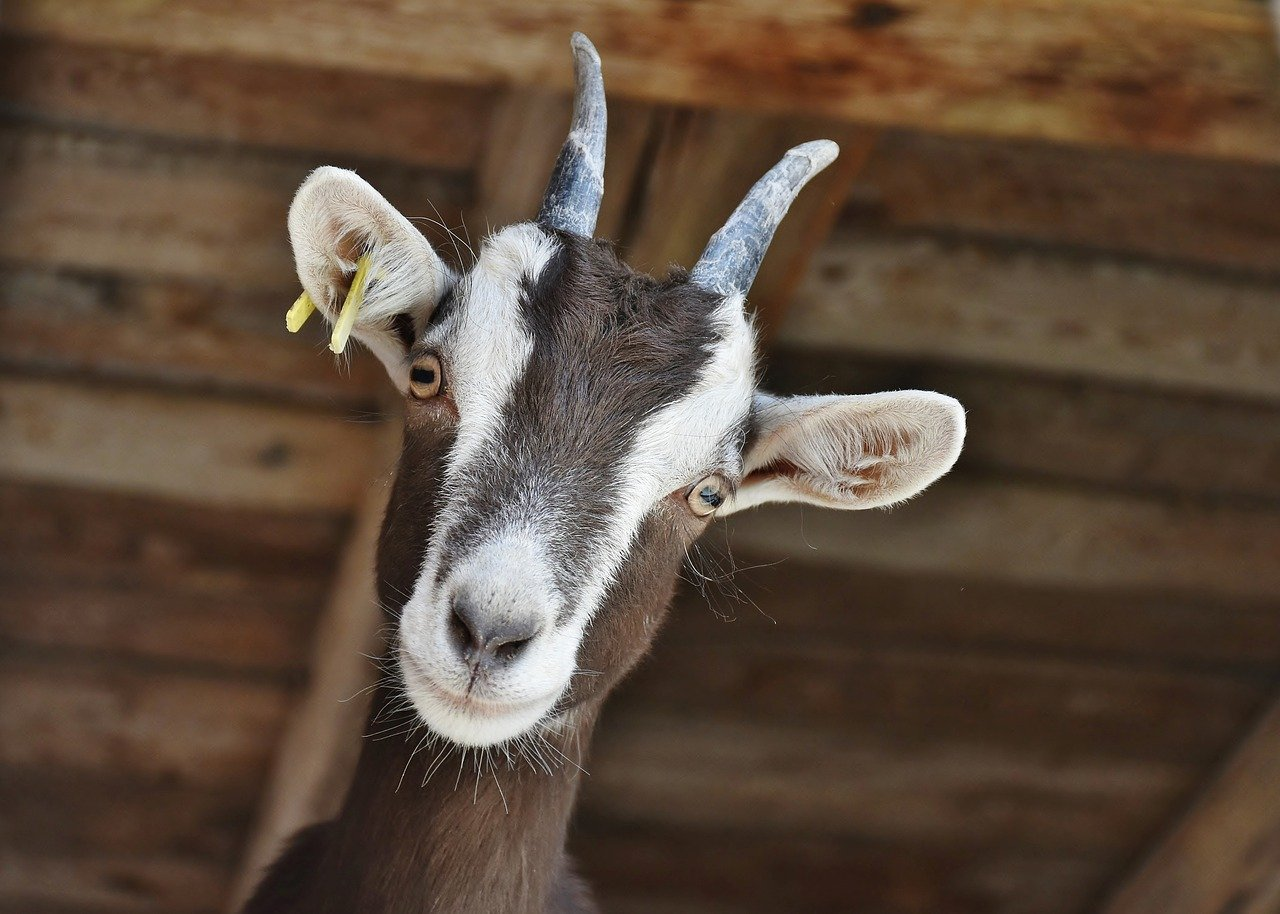 Motorists asked to exercise caution in Georgina due to stray goats