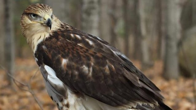 Police looking to track down pet hawk stolen from Ramara home